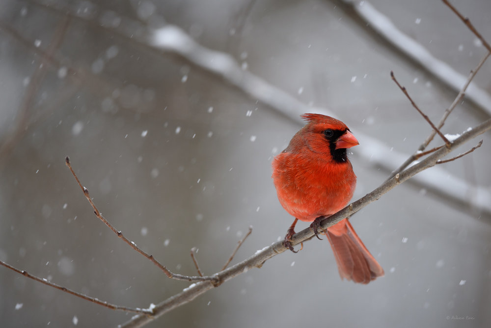 Male Northern Cardinal ------------