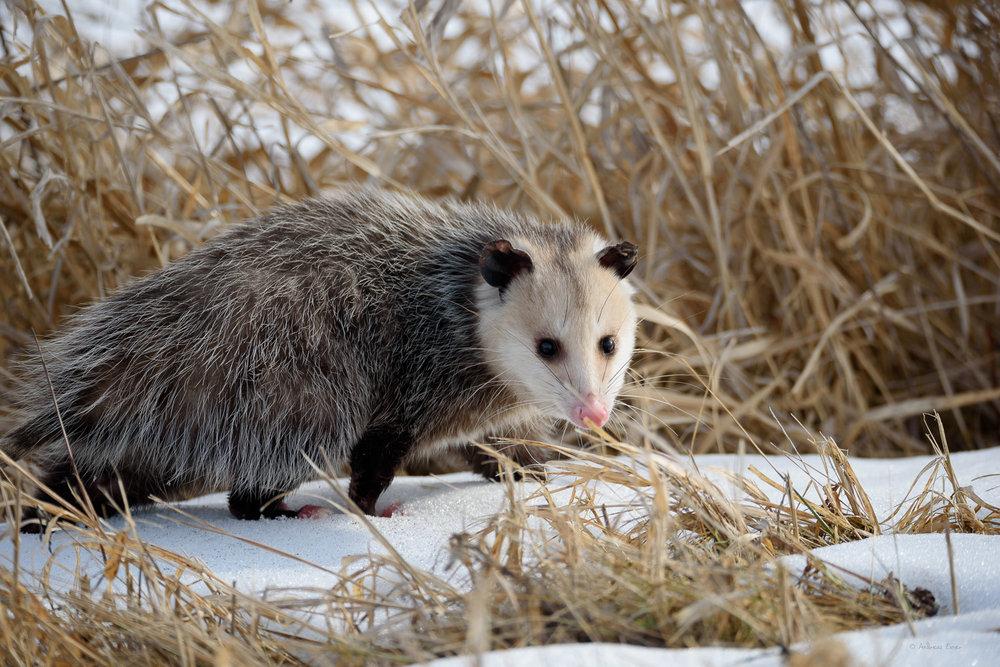 Virginia Opossum -----------