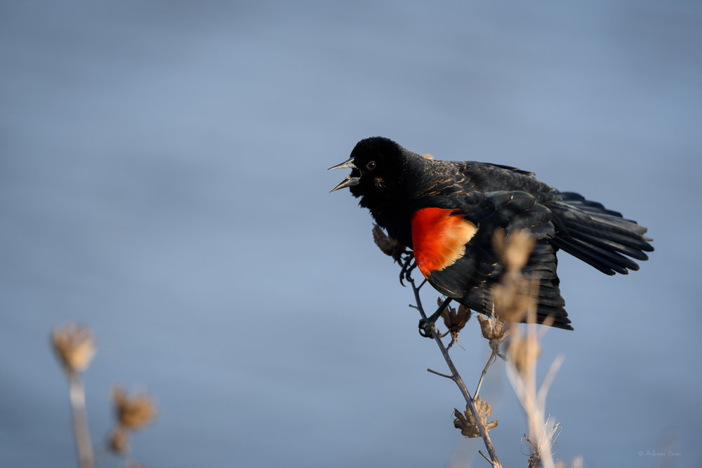 Red-winged Blackbird, Green Island Wetlands -------