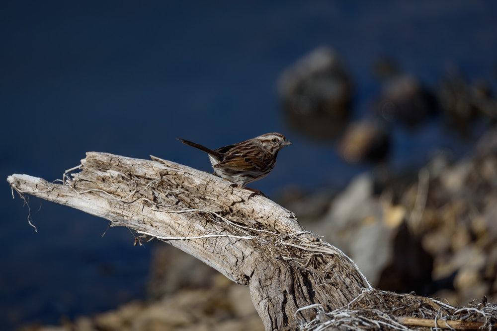 Song Sparrow, Green Island Wetlands, Iowa ---------