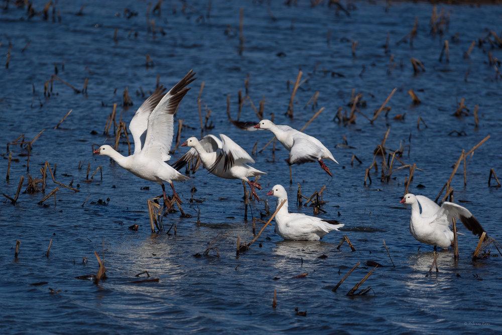 Snow Geese, take off at Green Island Wetlands, Iowa ---------