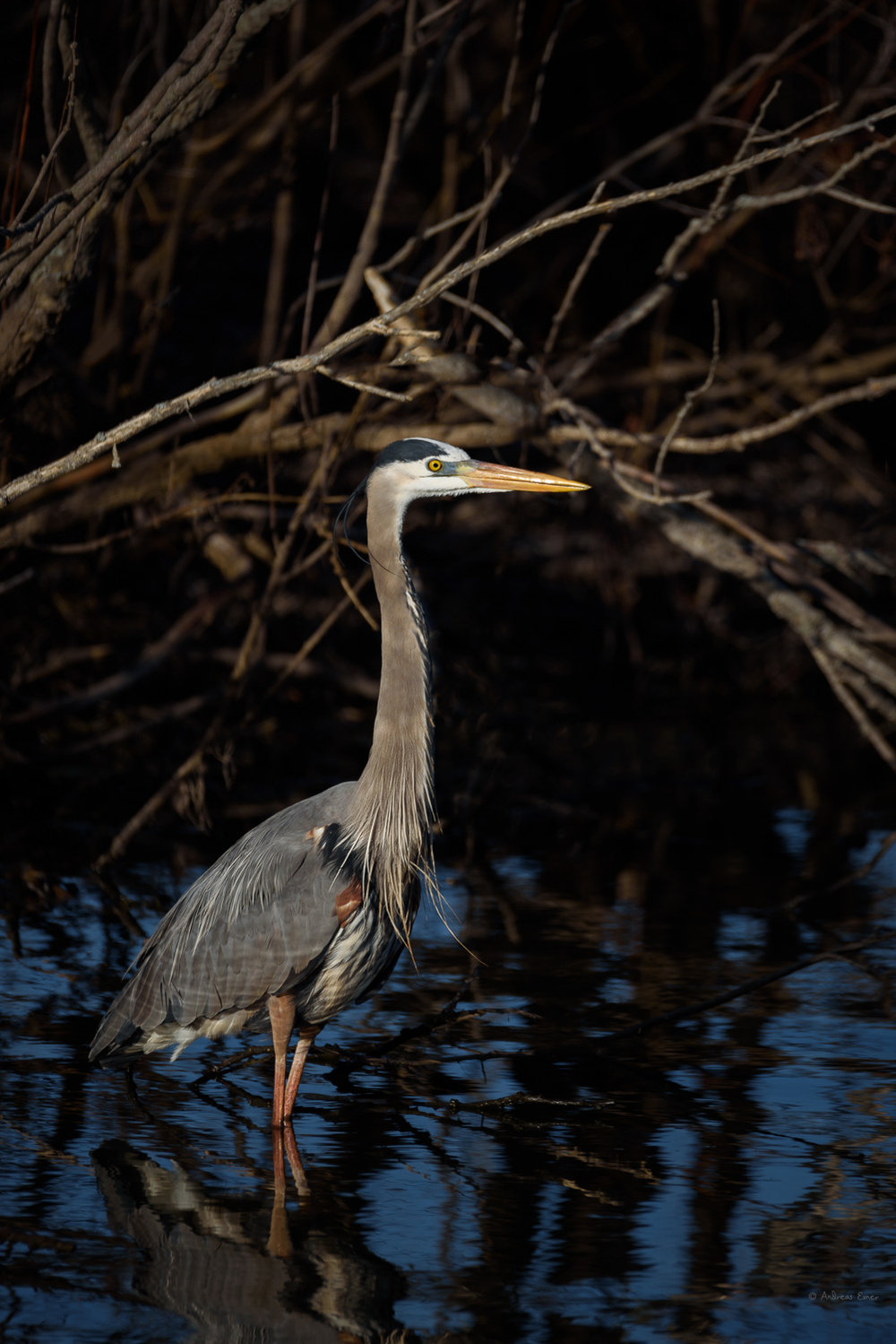 Great Blue Heron, Green Island Wetlands, Mississippi River, Iowa