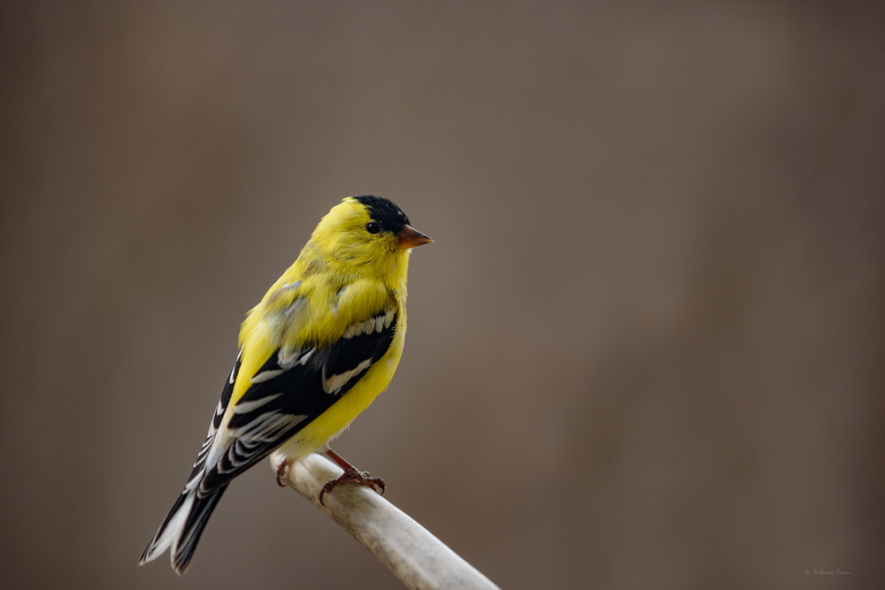 American Goldfinch ----------------