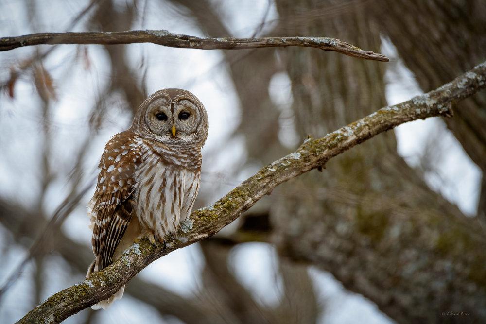 Barred Owl -----------