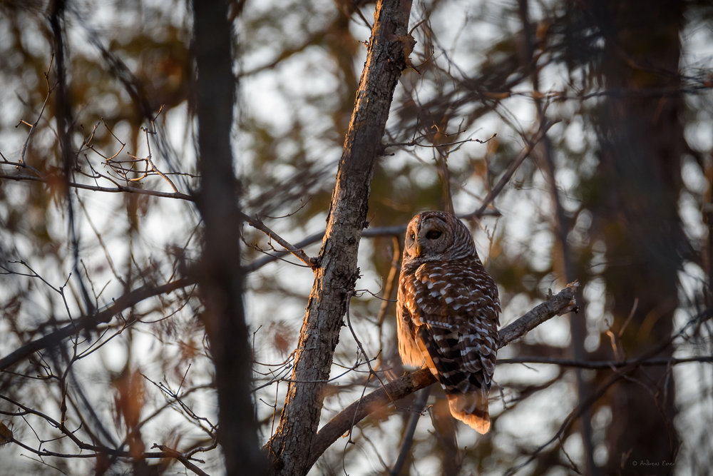Barred Owl, Little Maquoketa River Valley, Iowa ------------