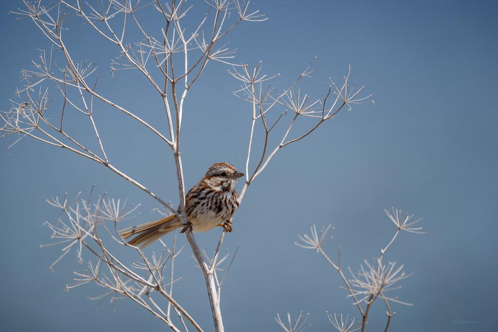 Song Sparrow, Green Island Wetlands, Iowa -----
