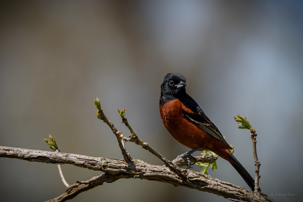 Male Orchard Oriole -------