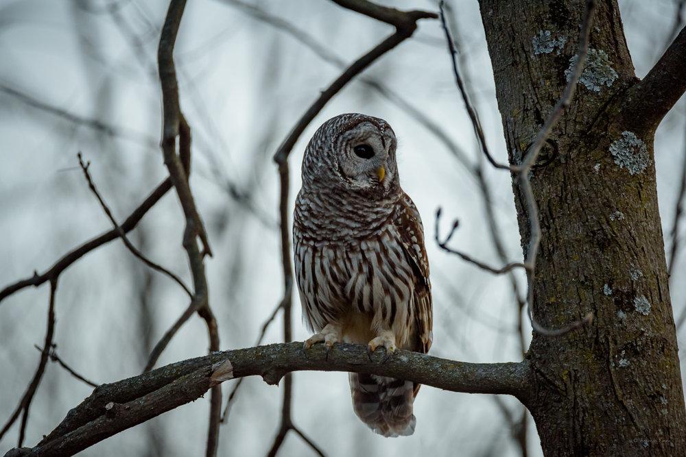 Barred Owl ----------