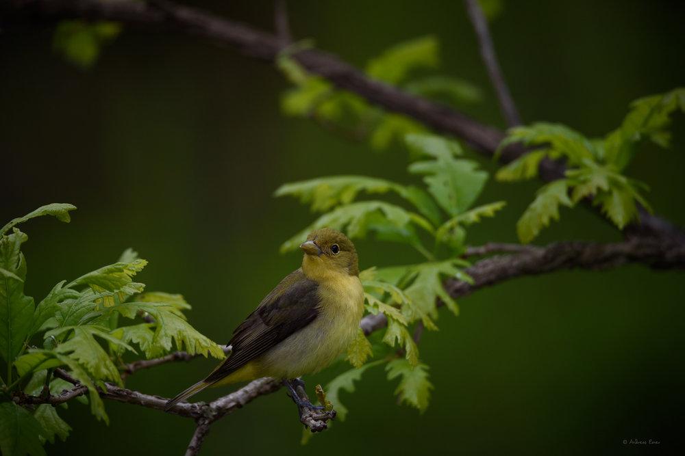 Female Scarlet Tanager -------