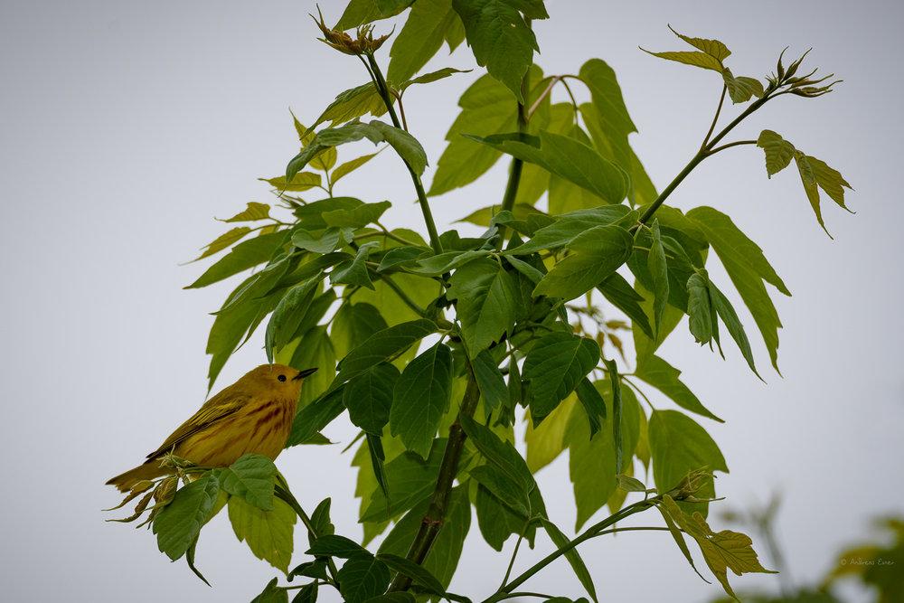 Yellow Warbler ------------