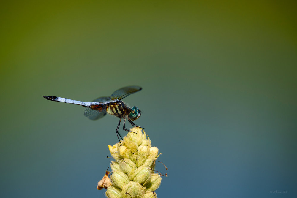 Blue Dasher, Green Island Wetlands, Iowa