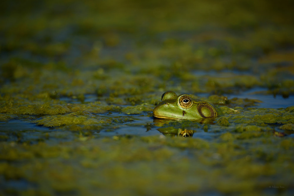 Green Frog, Mississippi River, Mud Lake, Iowa