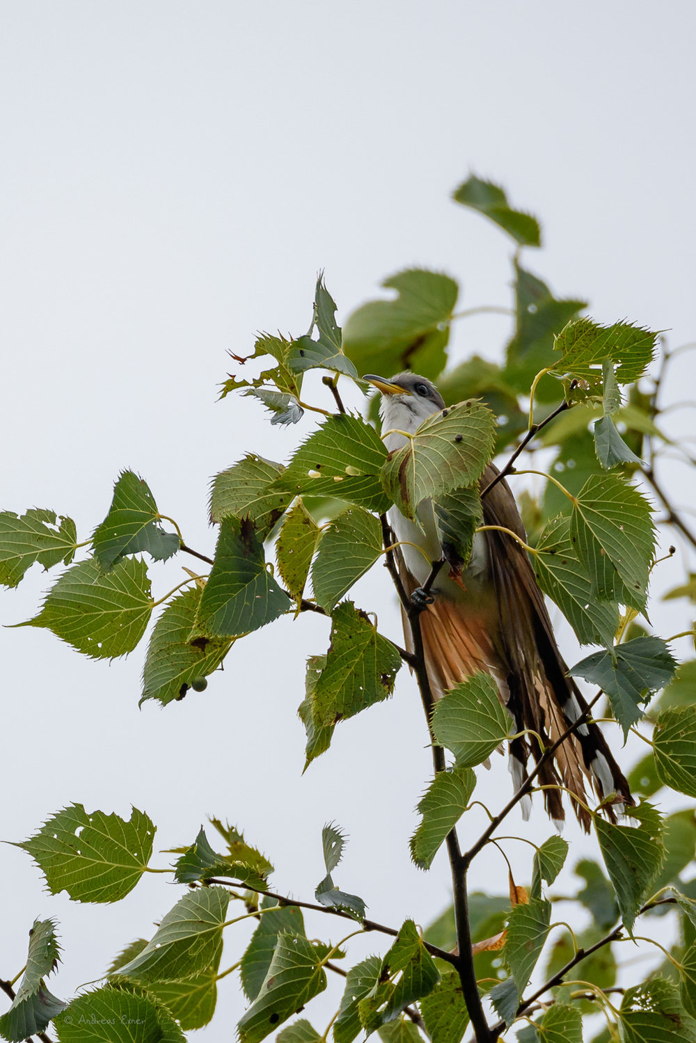 Yellow-bellied Cuckoo, near Durango, Iowa