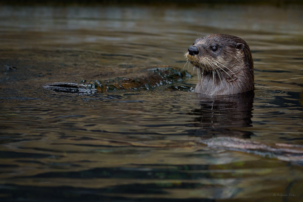 North American River Otter, (not a wildlife image)