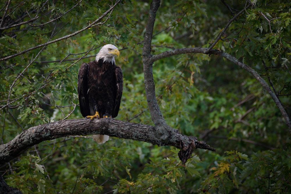 Bald Eagle, Mississippi River, Johnson Slough, Iowa