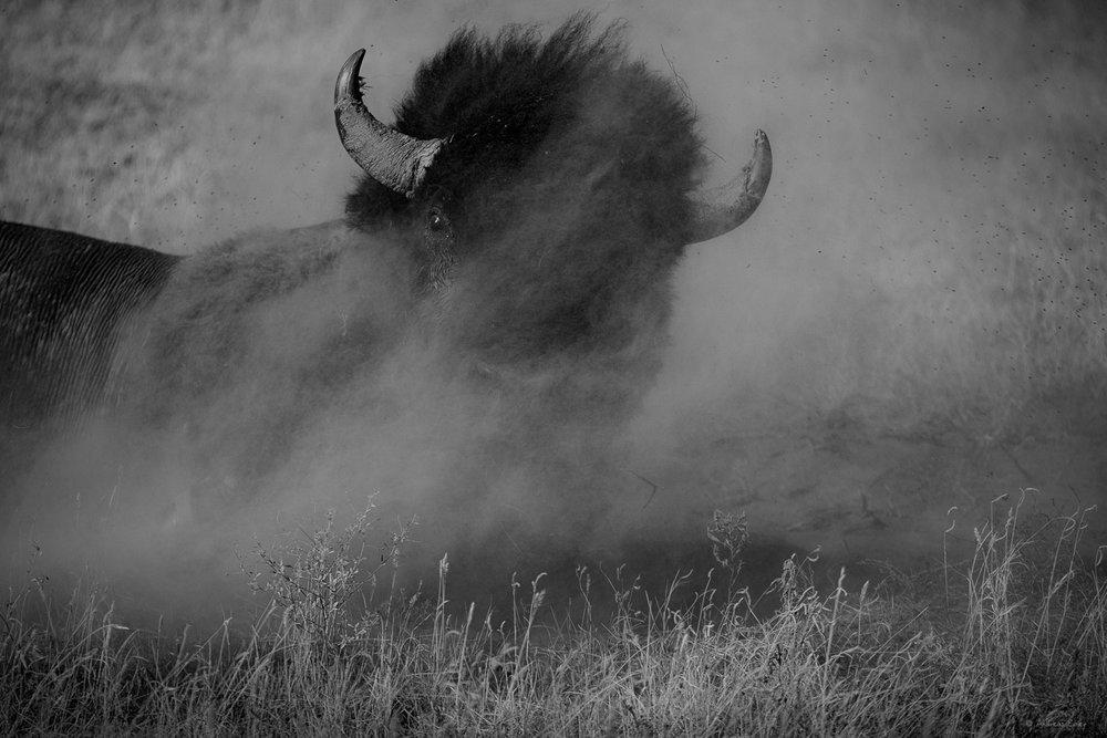 Wallowing bison, Badlands, South Dakota