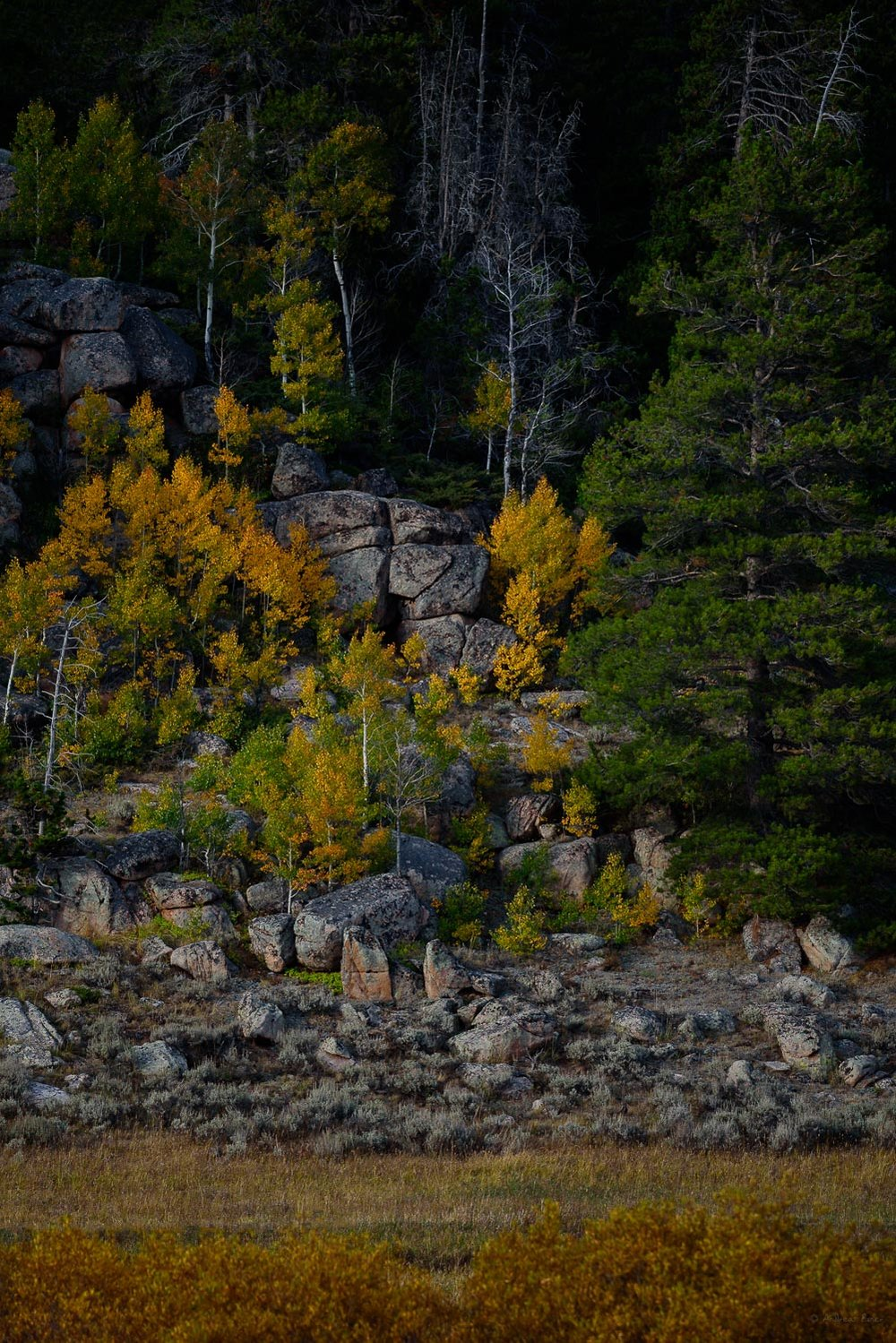 Aspens in color, Bighorn Mountains, near North Tongue River, Wyoming