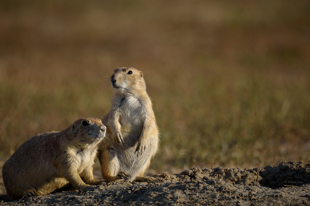 Black-tailed Prairie Dogs, Badlands, South Dakota