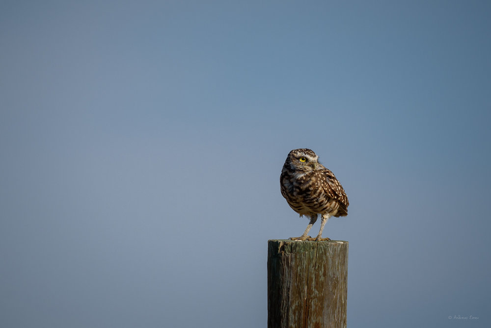 Burrowing Owl, Badlands, South Dakota