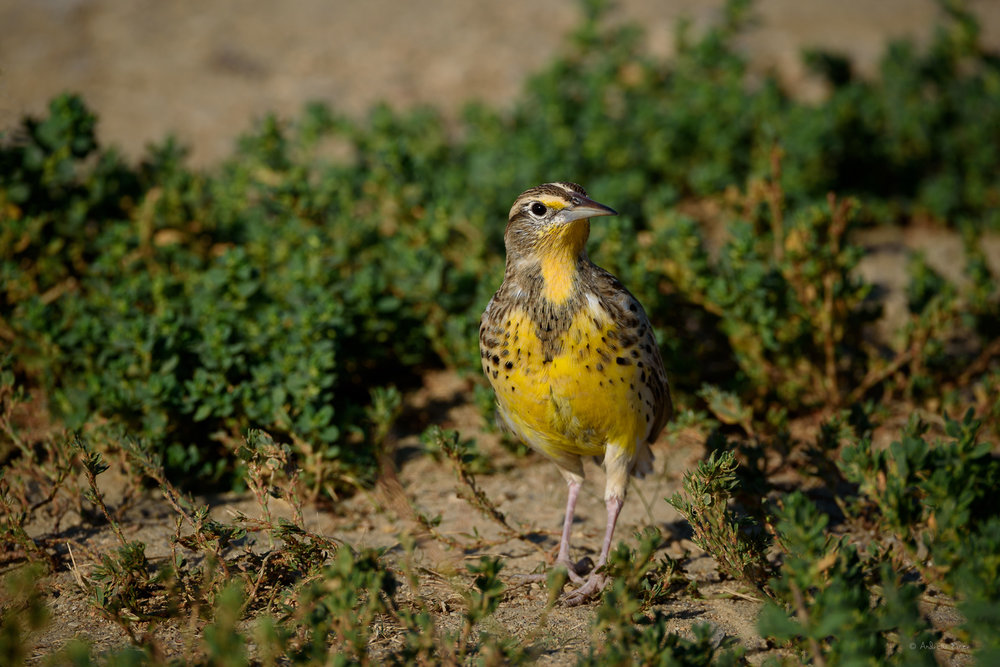 Western Meadowlark, Badlands, South Dakota