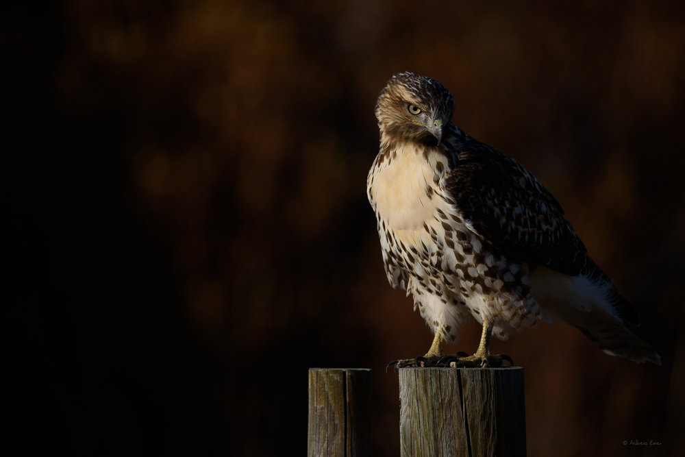 Red-tailed Hawk, Bighorn Mountains, Wyoming