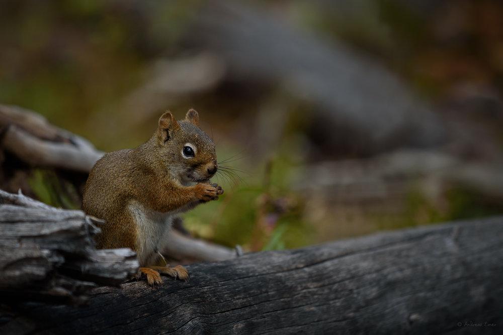 Red Squirrel, Bighorn Mountains, Wyoming