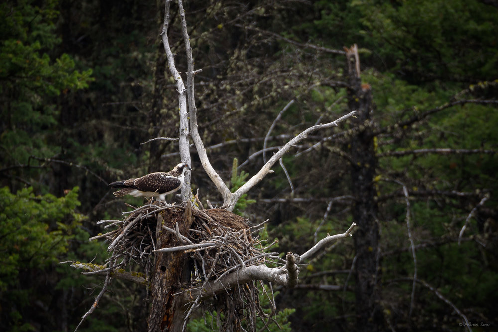 Osprey, Lamar Valley, Yellowstone NP