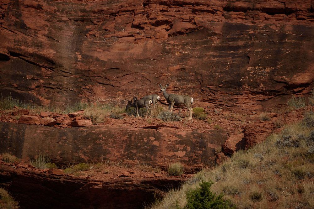 Mule Deer, Red Canyon, Wyoming