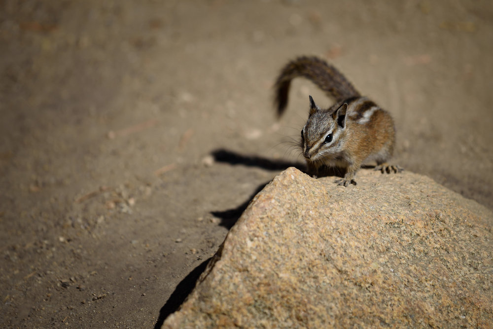 Least Chipmunk, Popo Agie Falls, Wyoming