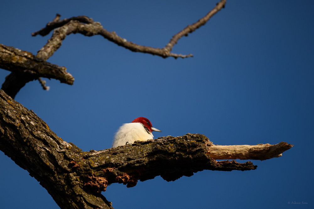 Red-headed Woodpecker, Mississippi River, Thomson Causeway Recreation Area, Illinois