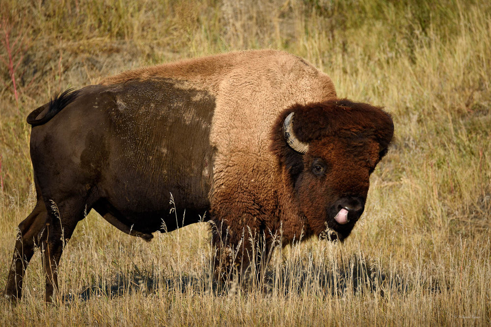 American Bison, Badlands NP, South Dakota  Nikon D750, Sigma 150-600mm / f5-6.3 DG OS HSM S, @500mm, 1/640s, f/6.3, ISO200