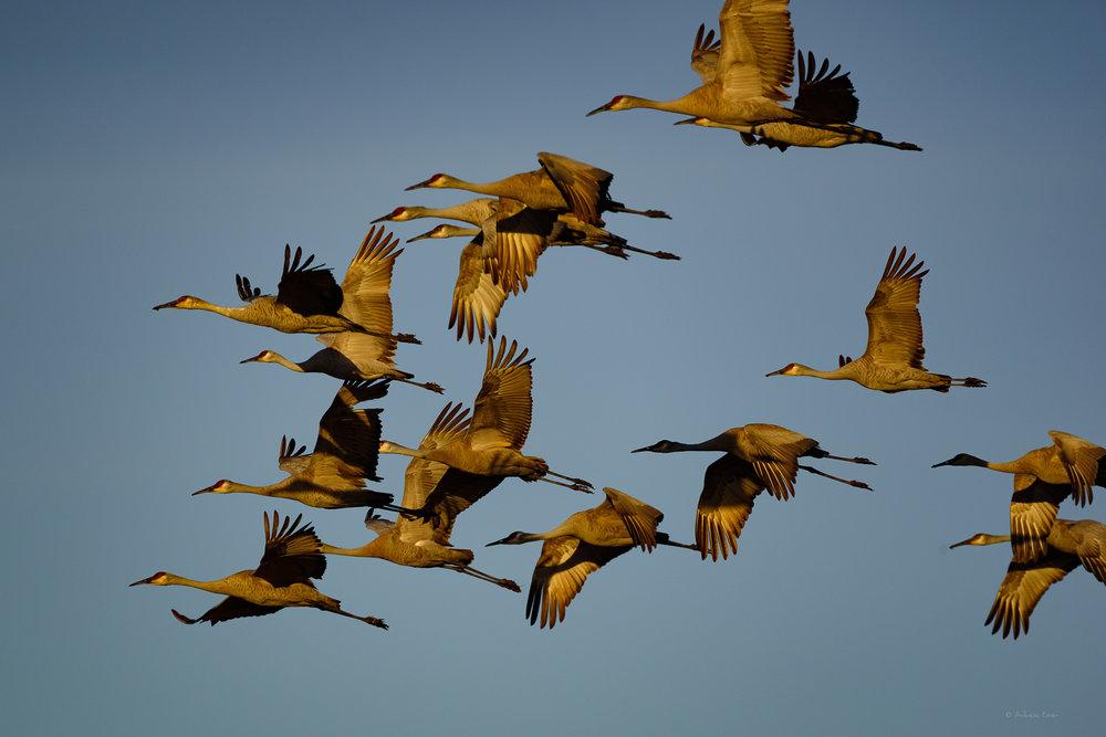 Sandhill Cranes, Green Island Wetlands, March 2017