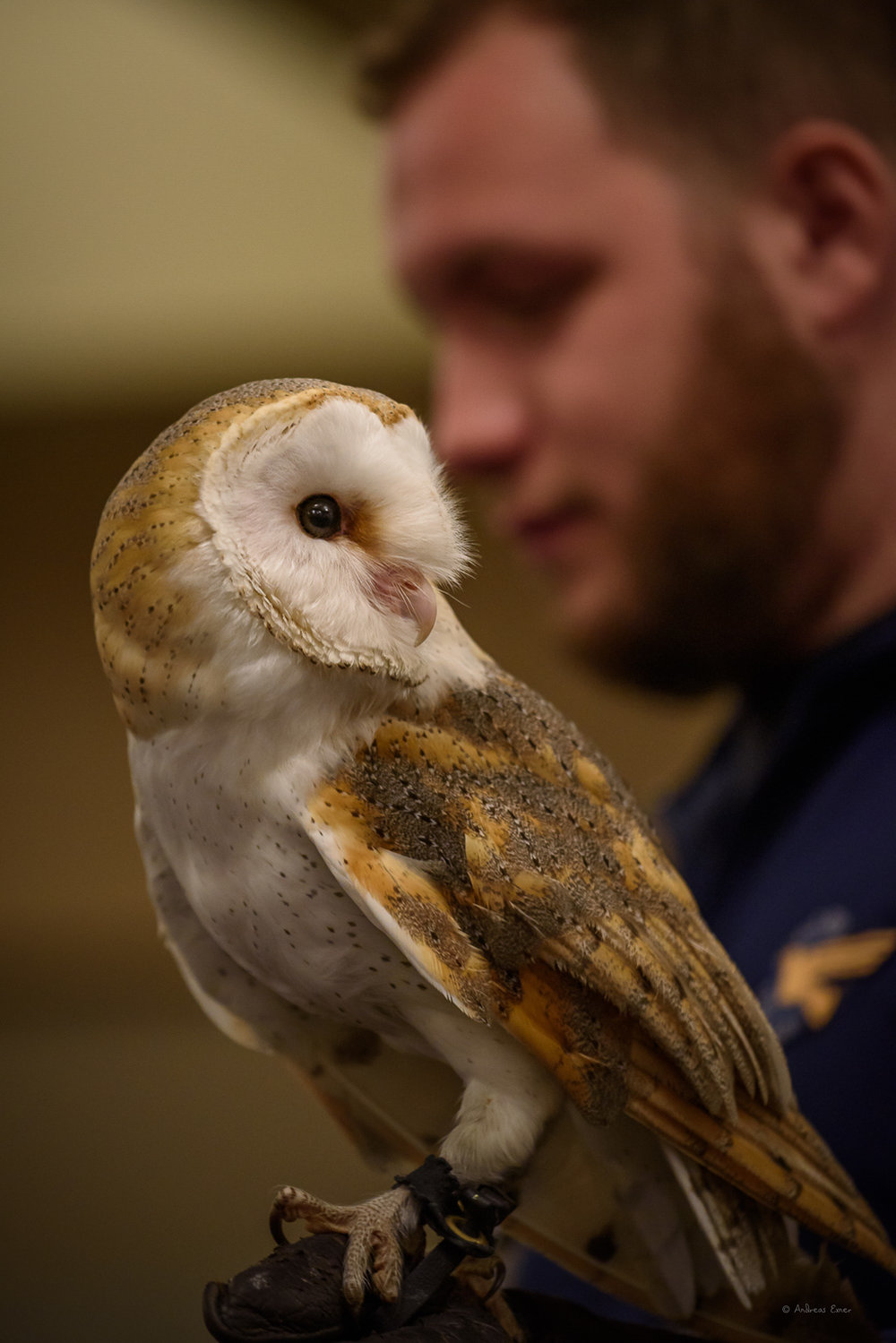 European Barn Owl