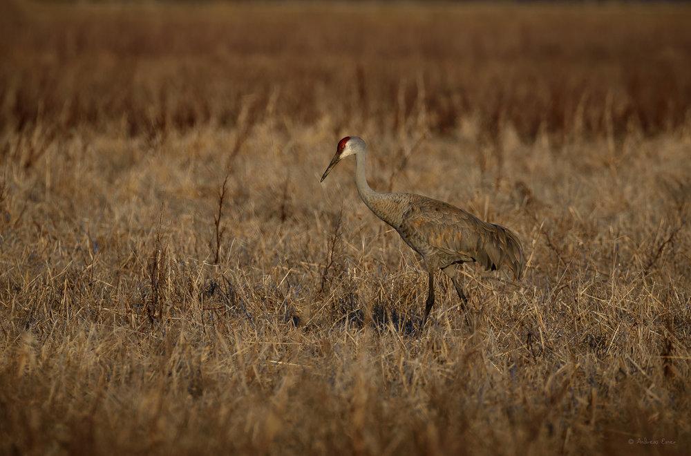 Sandhill Crane, Green Island Wetlands, near Mississippi River, Iowa