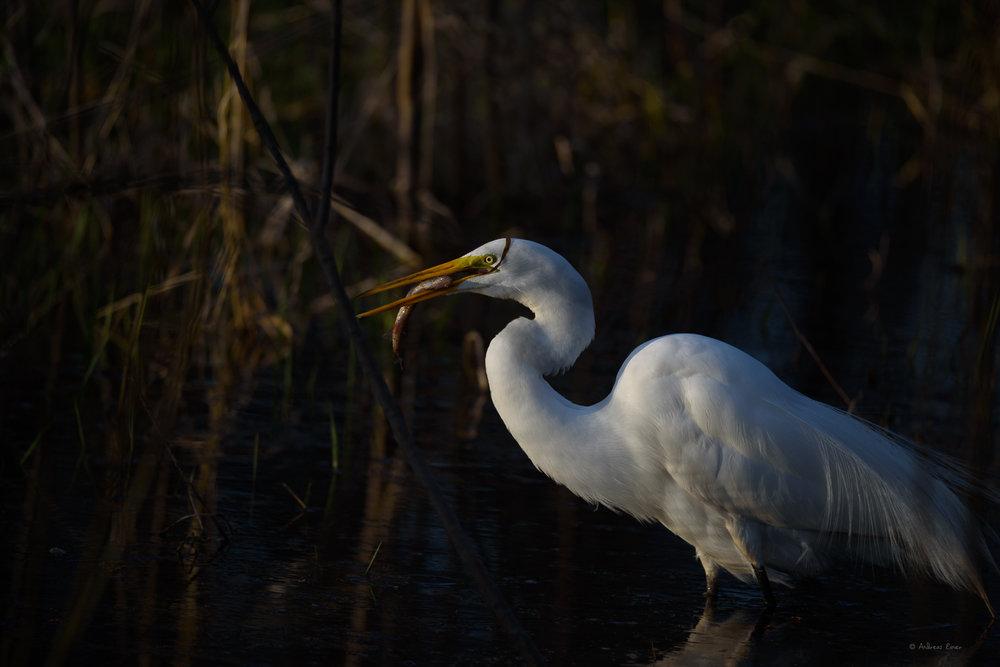 Great Eagret, Green Island Wetlands, Iowa
