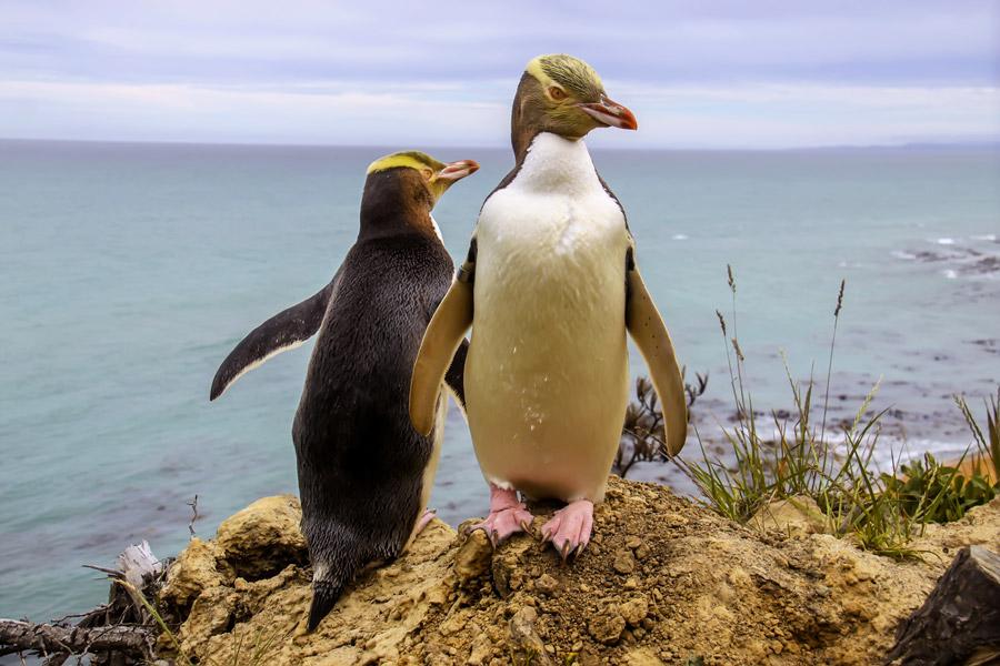 australasia_new_zealand_otago_peninsula_gallery_yellow_eyed_penguin.jpg