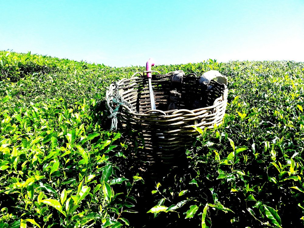 maleisie tea-plantation-261518_1920.jpg
