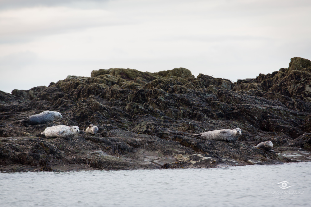 Harbour seals resting on a rocky outcrop at Tyrella beach