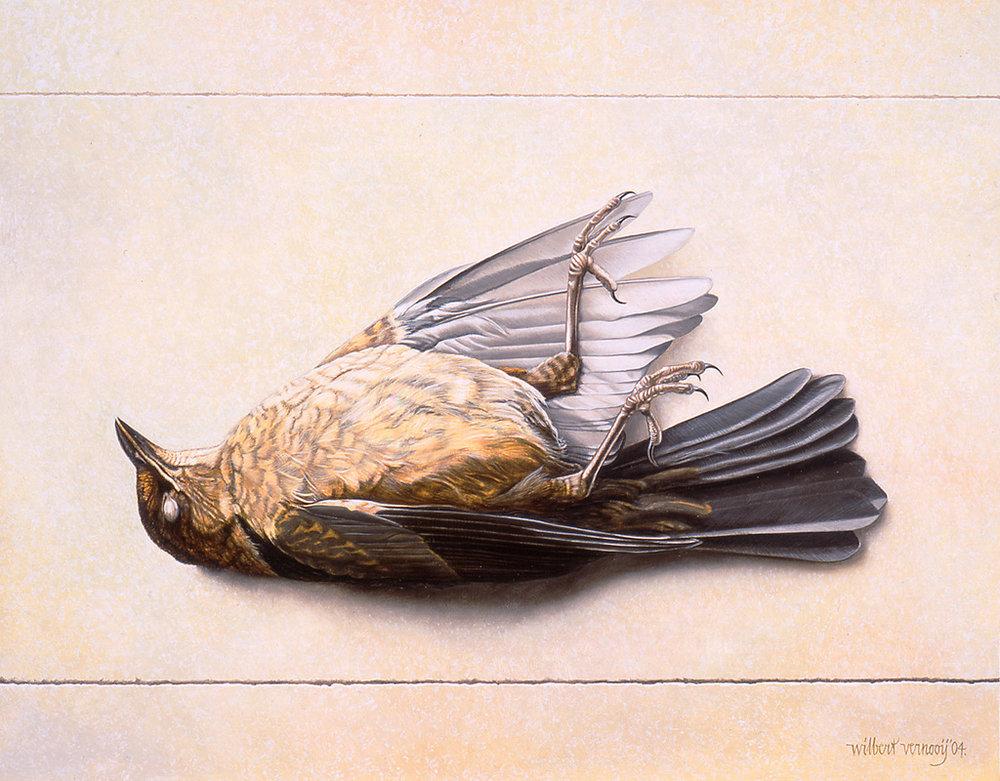 Jonge Merel | Young Blackbird
