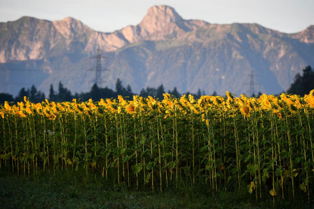 SWITZERLAND SUNFLOWER FIELD