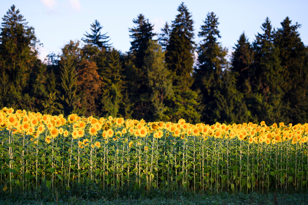 SWITZERLAND SUNFLOWER FIELD