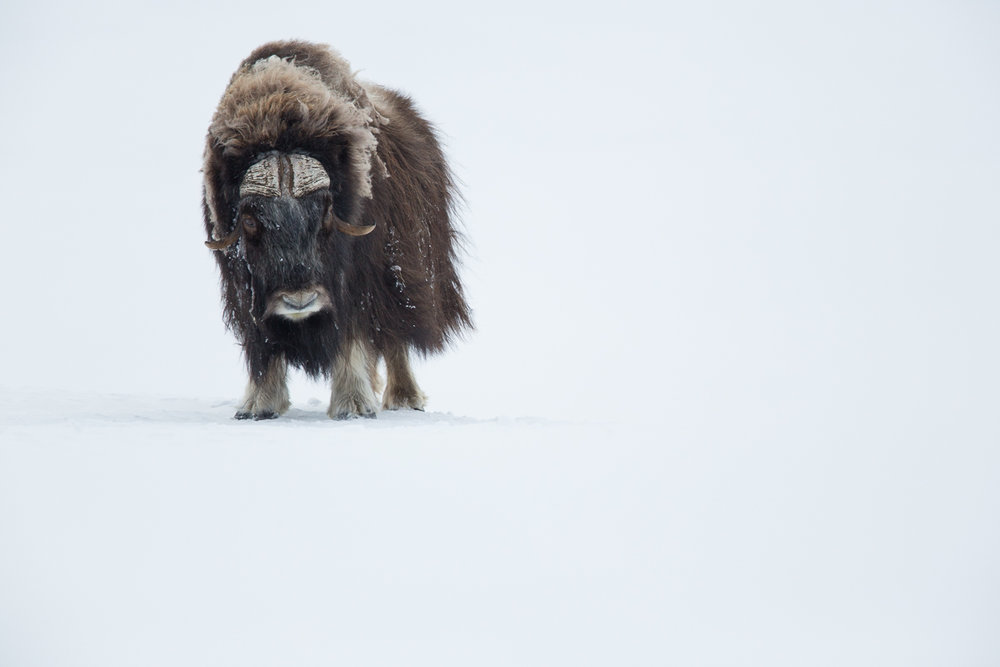 The majority of these images were taken while camping amongst a particular group of 8 bull musk oxen one winter in their northern home...