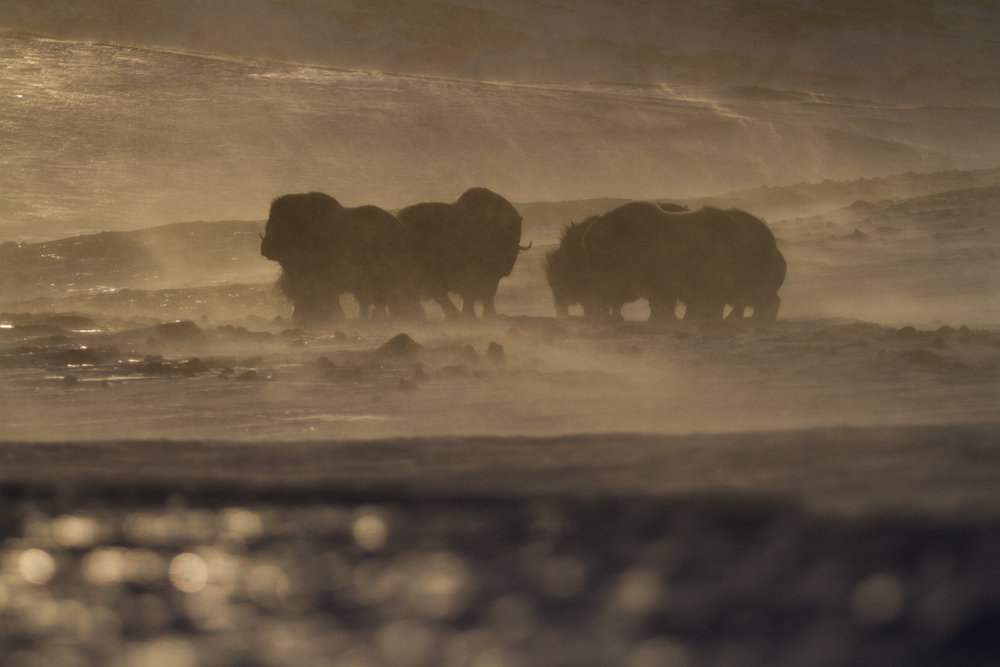 from time to time other groups of musk oxen were encountered