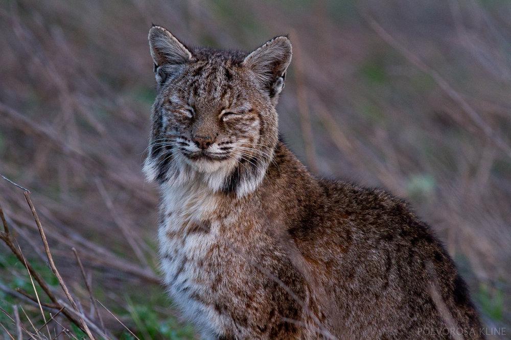 PolvorosaKline_Bobcat.jpg