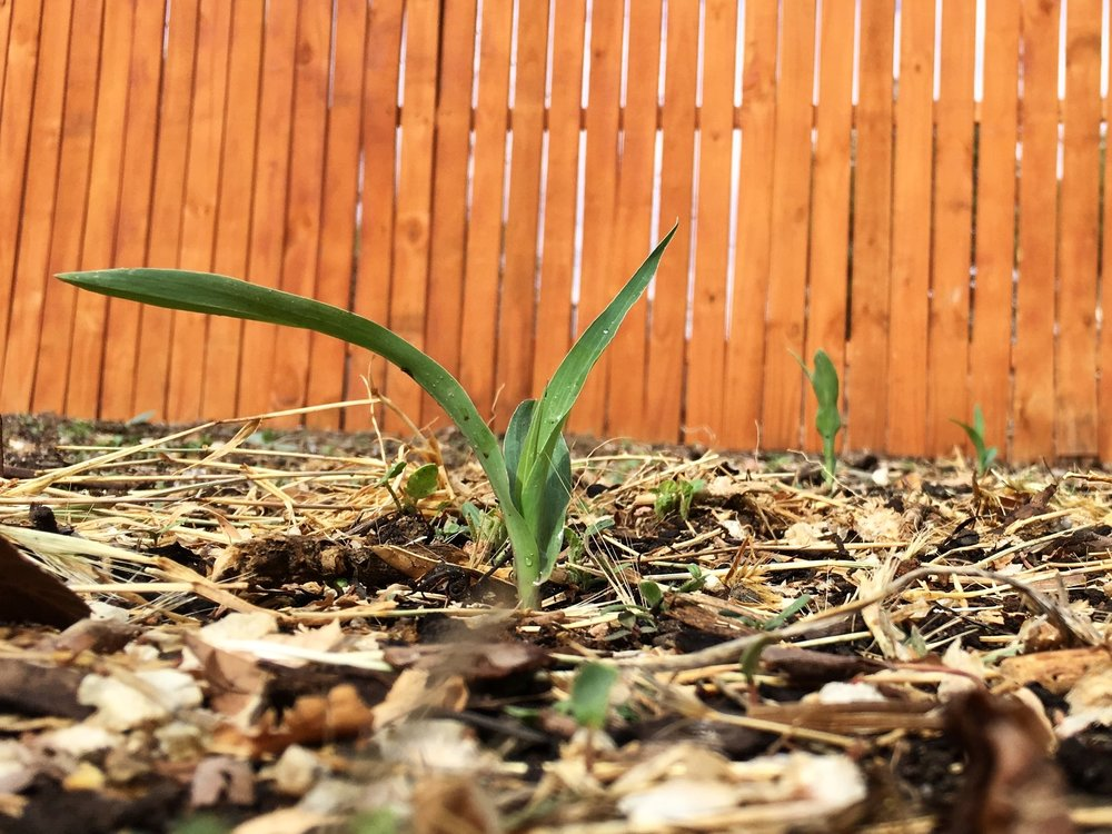 Three little corn shoots all in a row!