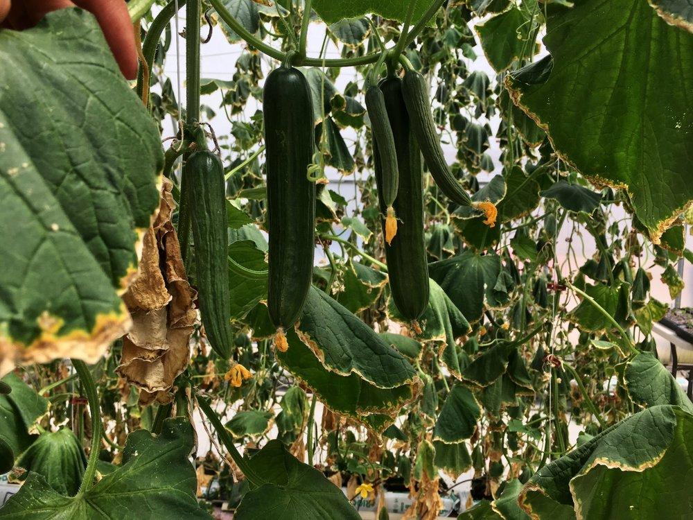 Cucumbers (1).JPG