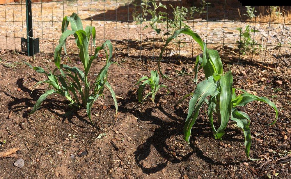 Corn growth.JPG
