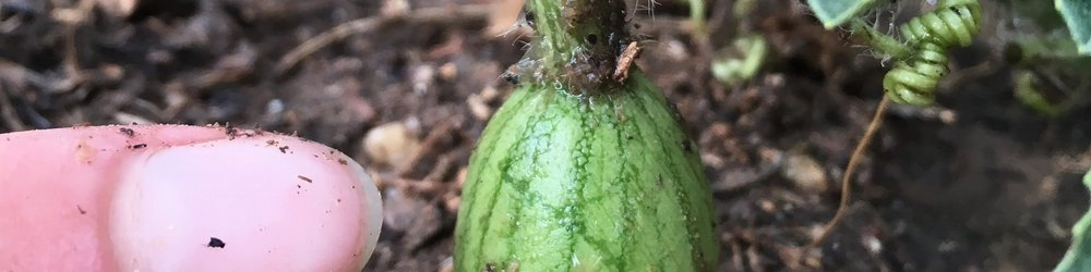 Melon growth (3).jpeg