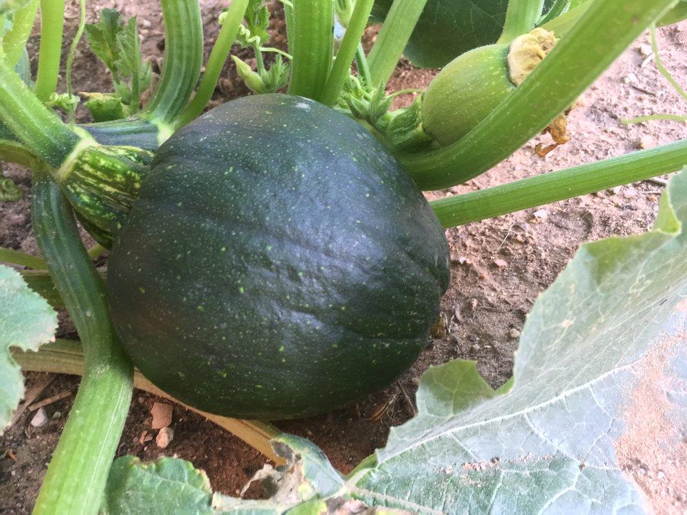 Pumpkin growth (8).JPG