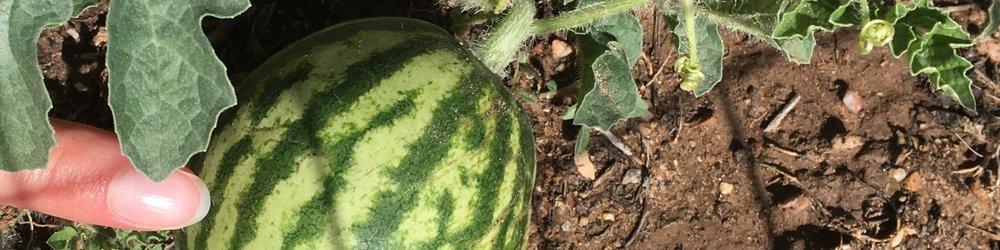 Melon growth (4).jpeg